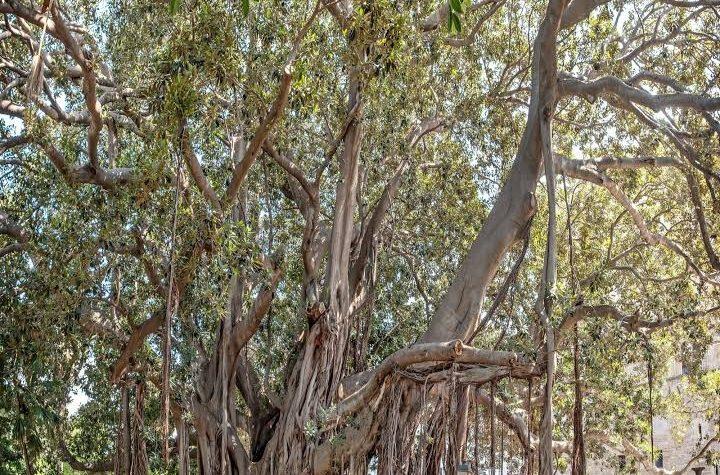 Il Ficus Magnoloides di Piazza Marina